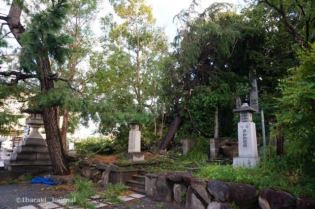 0905茨木神社そばの松の木DSC06050
