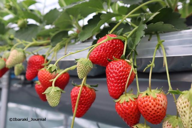 ザファームイチゴ園栽培の様子IMG_7842