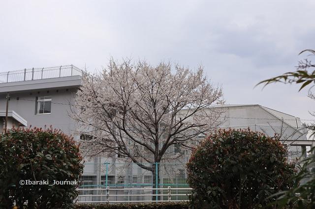 茨木高校の桜0323IMG_8976
