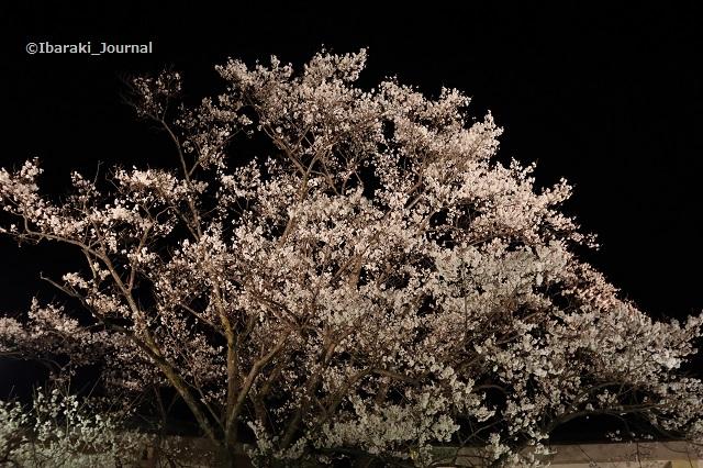 辯天本堂そばの桜の木IMG_9066