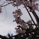 元茨木川緑地桜アップコヒガンIMG_8981
