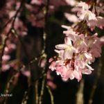 辯天しだれ桜アップIMG_9079