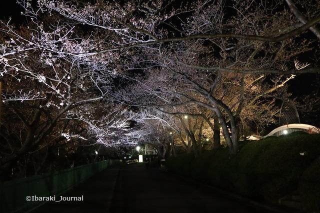 辯天桜の通り道IMG_9058