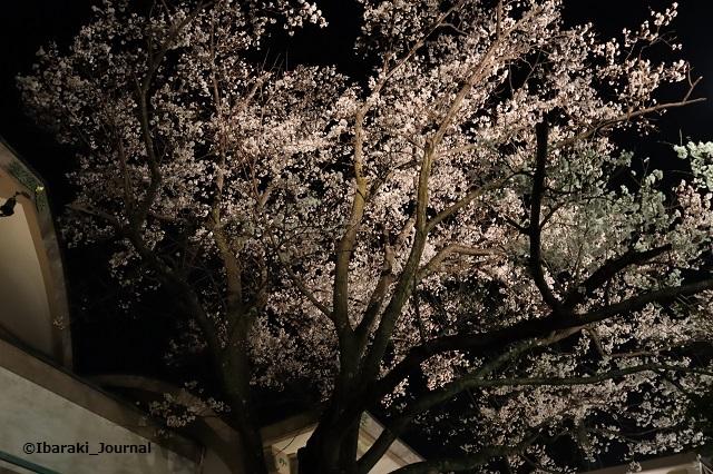 辯天さん本堂そばの桜の木のほうIMG_9063