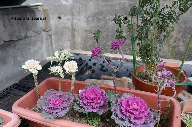 0221春日商店街入り口花壇の葉牡丹IMG_8781