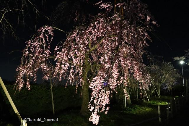 辯天さんしだれ桜IMG_9077
