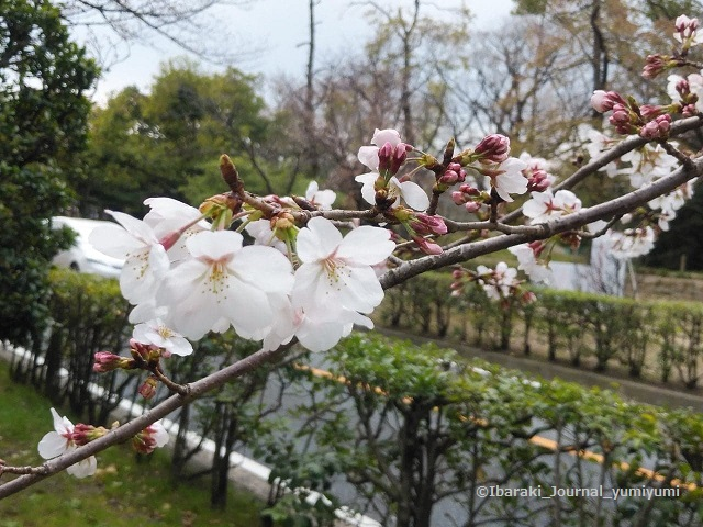 沢良義神社あたりの桜55719491_322182325012464_9115994916697145344_n
