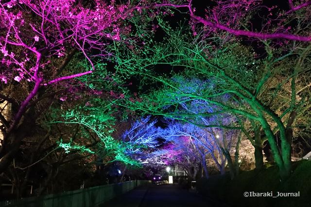 辯天桜の通り道ライトアップIMG_9062