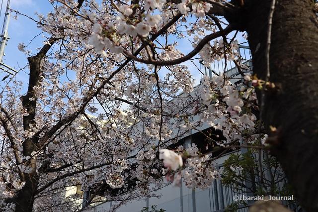 9阪急総持寺へ向かう途中で桜IMG_9277
