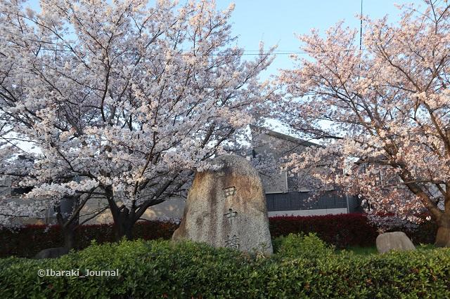 川端通り田中橋の桜IMG_9419