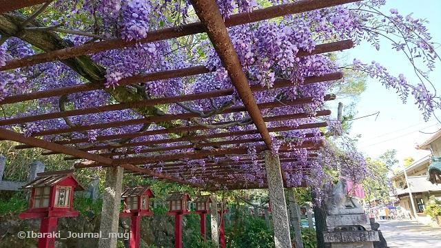 0420茨木神社の藤棚mugi