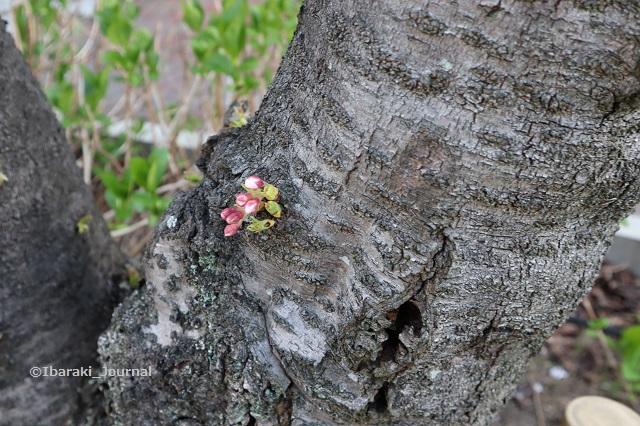 10阪急総持寺への道沿いの桜つぼみIMG_9281