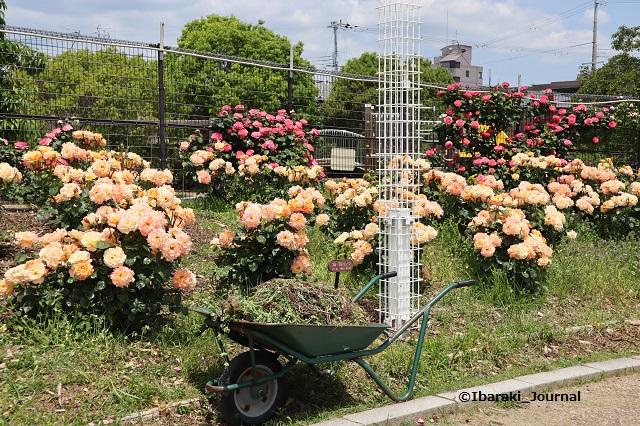 バラ園で作業のくるまIMG_9726