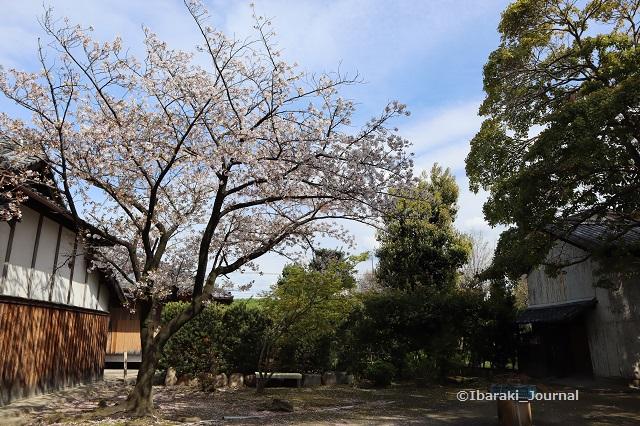 溝咋神社の桜IMG_9462