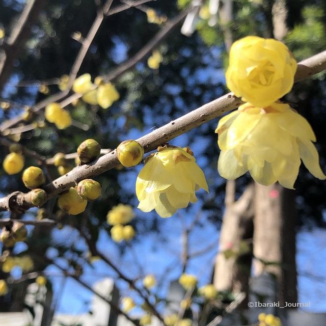 0128茨木神社の花IMG_1661