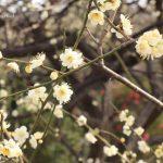 20200207元茨木川緑地梅の花のアップIMG_1825