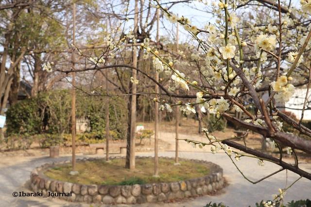 20200207元茨木川緑地で梅IMG_1828