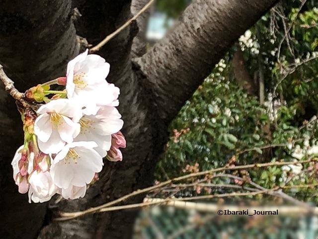 桜さくらIMG_2836