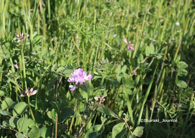 福井でレンゲの花IMG_2216