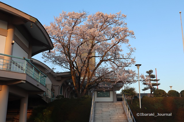 弁天さん参殿そばの桜20200323IMG_2269