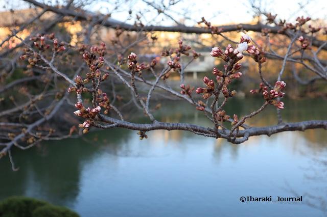 弁天さん池の桜のつぼみ20200323IMG_2252