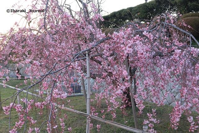 弁天さんしだれ桜1-20200323IMG_2253