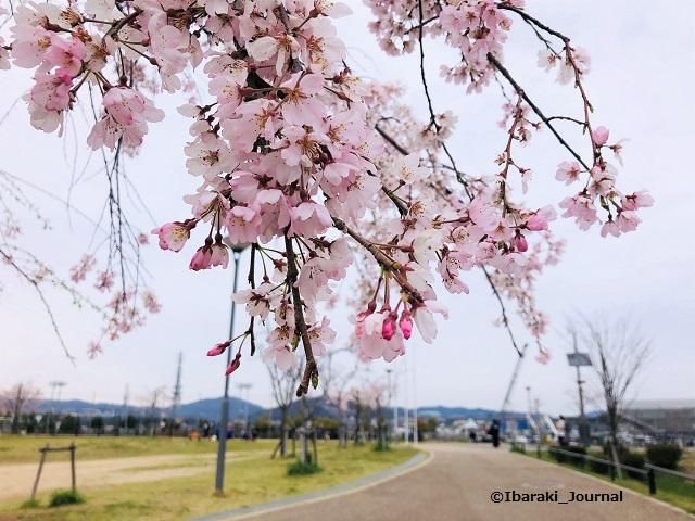 西河原公園桜の花20200330IMG_2987