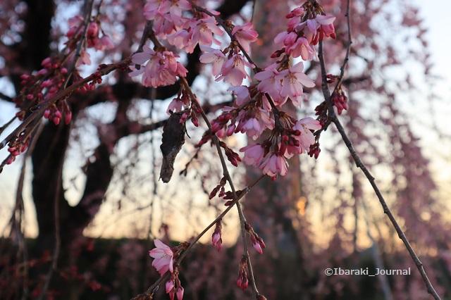 弁天さんしだれ桜アップ20200323IMG_2259