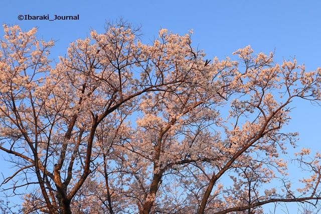 弁天さん参殿そばの桜の木20200323IMG_2273