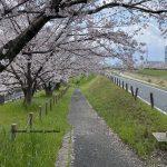 安威川沿い桜IMG_1956