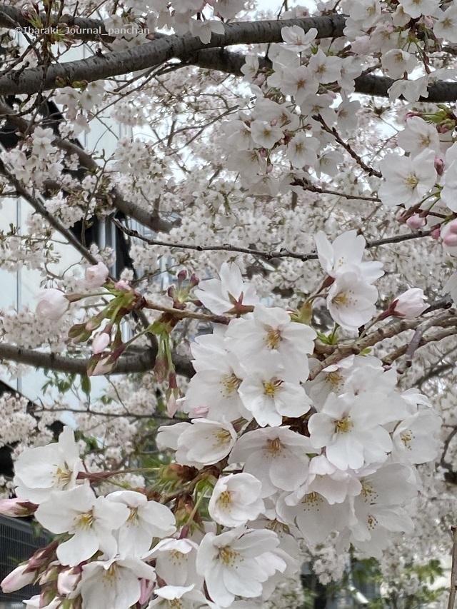 総持寺桜の花IMG_1943