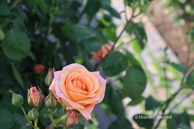 0504バラ園のバラオレンジIMG_2829