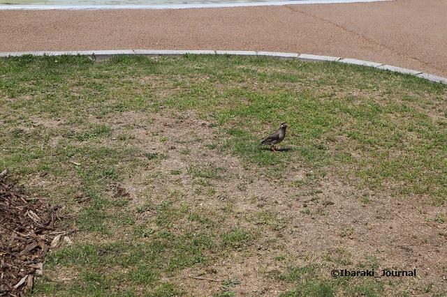 0425バラ園の鳥IMG_2748