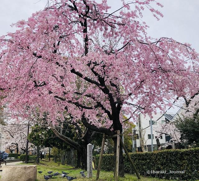 20200330元茨木川緑地桜税務IMG_2962