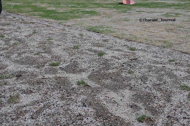 市民会館跡地芝生広場の芝生IMG_3232