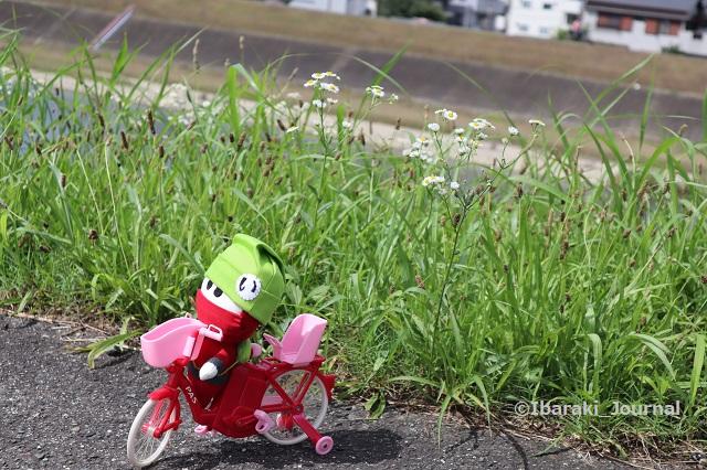 0716安威川そばでにんじゃる自転車IMG_3802