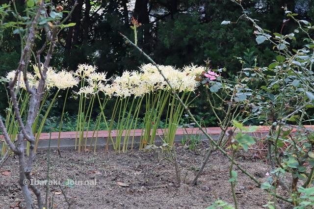 0930南茨木緑地の白い彼岸花IMG_4966