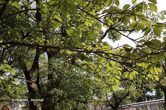 0909-6川端通り沿い元茨木川緑地の木IMG_4221