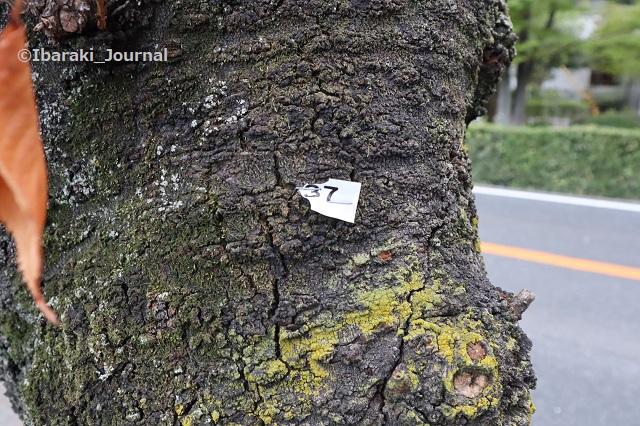 0917川端通りの37番の木IMG_4532