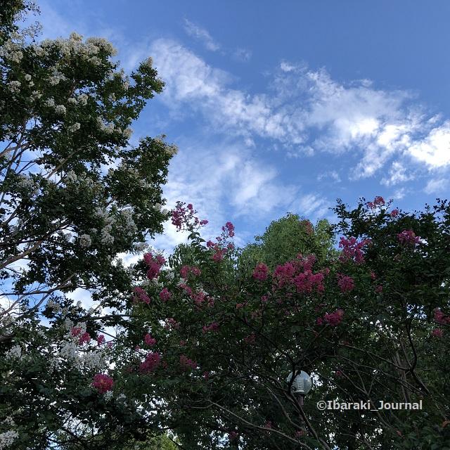 0911桜通り沿い元茨木川緑地きれいな花IMG_6371