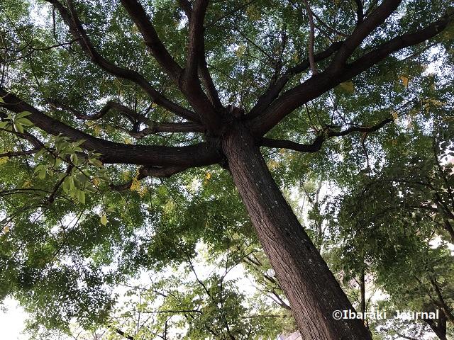 0911桜通り沿い元茨木川緑地の木3IMG_6367