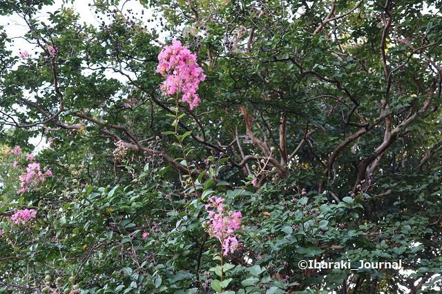0928若園公園のサルスベリの花IMG_4903