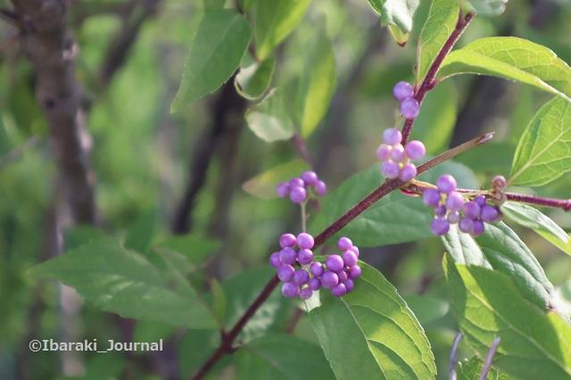 0914立命館で木にも花がIMG_4366