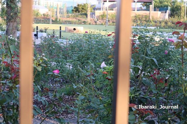 0928若園公園バラ園IMG_4901