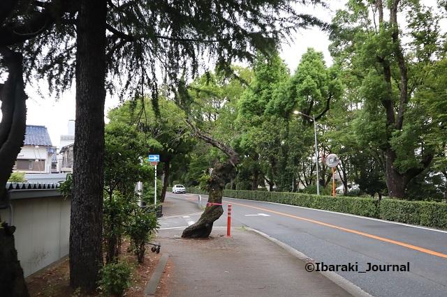 0917川端通りの木3IMG_4527