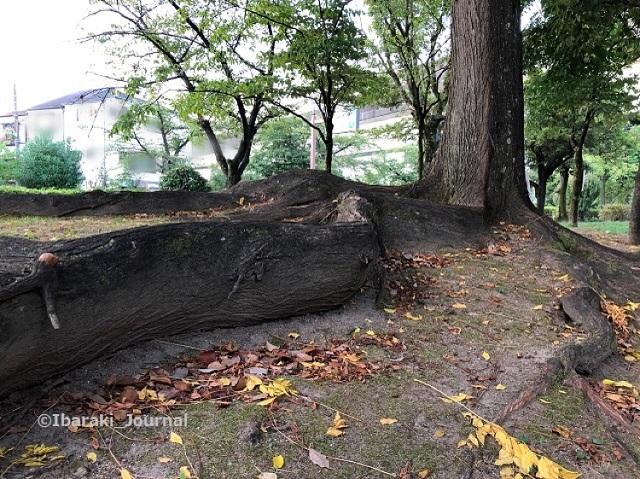 0911桜通り沿い元茨木川緑地の木の根っこ1IMG_6365