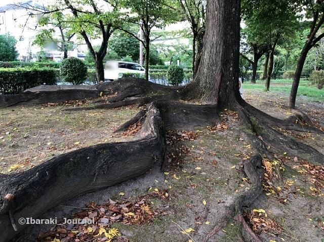 0911桜通り沿い元茨木川緑地木の根っこ2IMG_6366