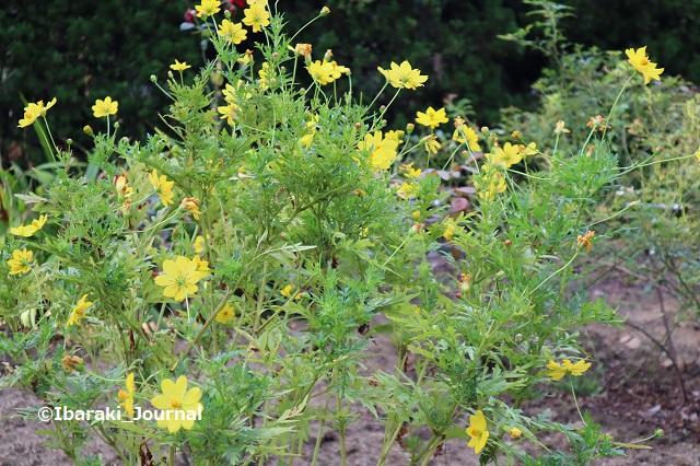 0930-4南茨木緑地のコスモスIMG_4967