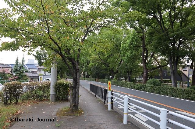 0917川端通り歩道の木1IMG_4525