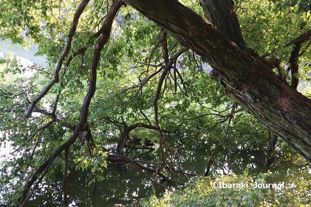 1015-10耳原公園の池の木に鴨IMG_5367